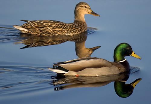 El pato con mente humana caminos al ser for Imagenes de estanques para patos